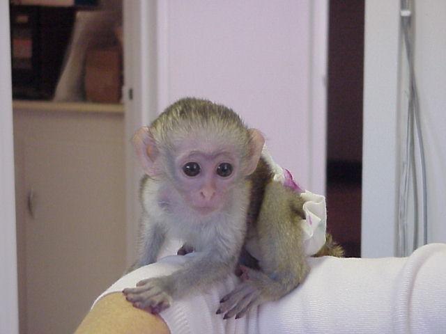 Schon Kapuziner Affe Ein Neues Zuhause Tiermarkt Net