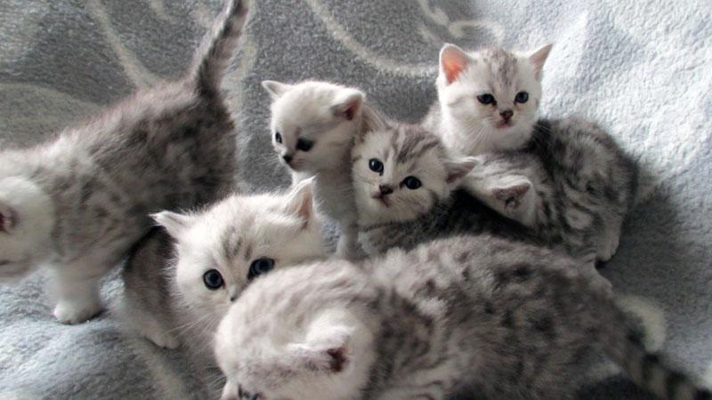 reinrassige britisch kurzhaar katzenbabys babykatzen vom z chter. Black Bedroom Furniture Sets. Home Design Ideas