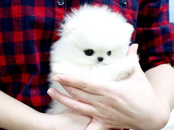 Zwergspitz Pomeranian kaufen & verkaufen