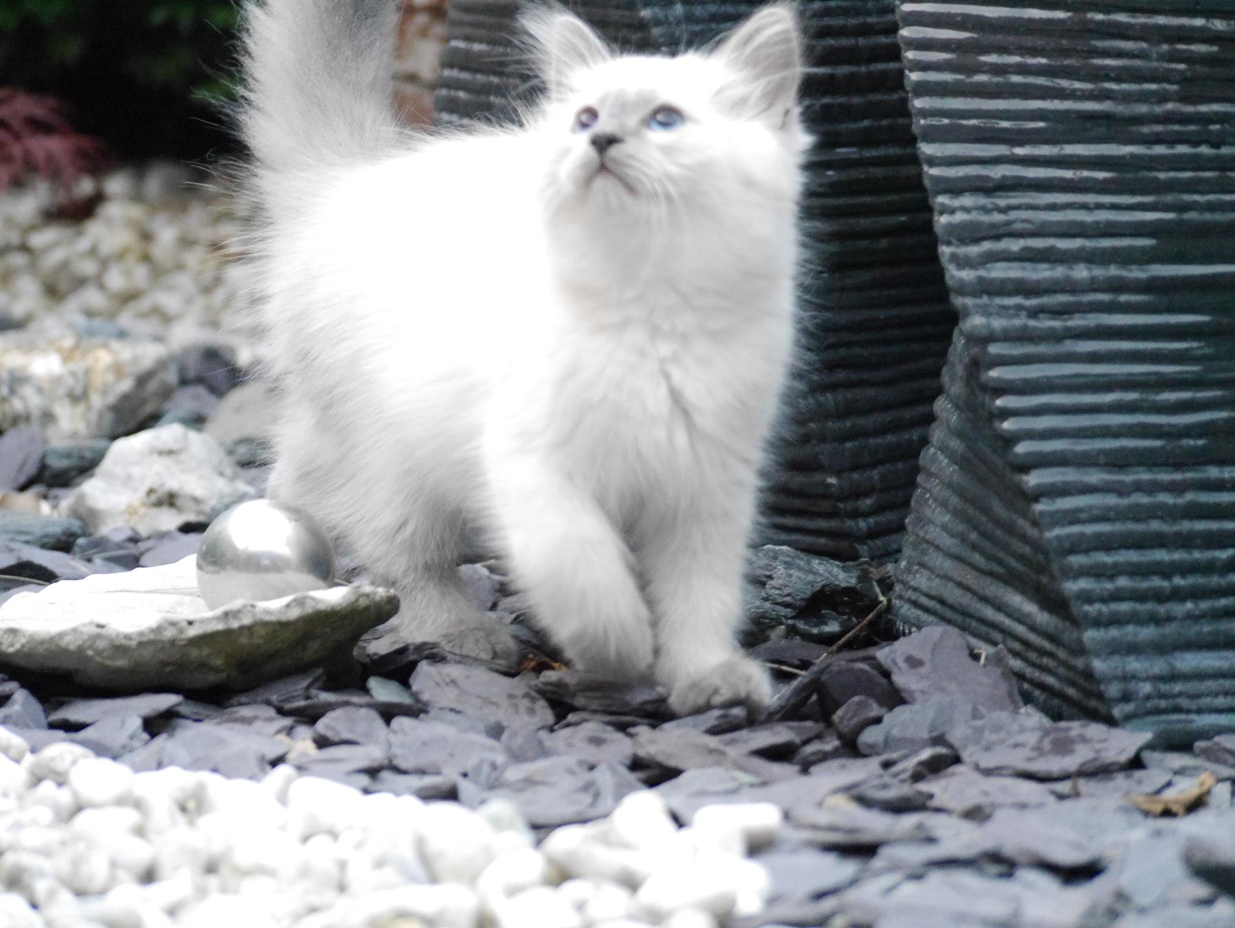 4 Sibirische Katzen suchen neues zu Hause Tiermarkt